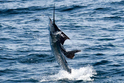 Sailfish Jumping