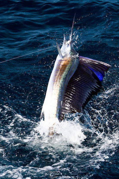 Costa Rica SailFish December 17th