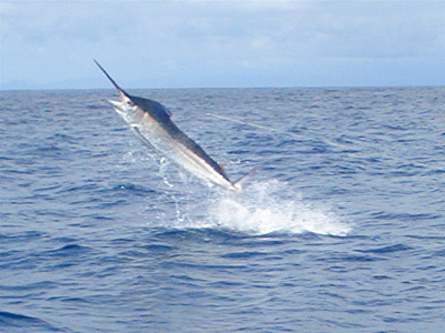 marlin-jumping-02-1-small.jpg