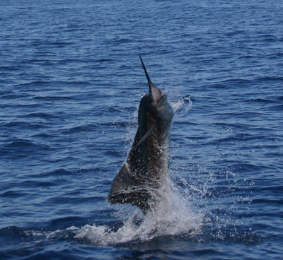 sailfish-bubba.jpg