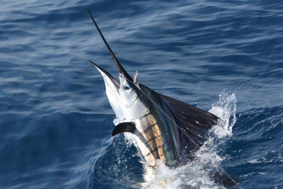 sailfish-colors.jpg