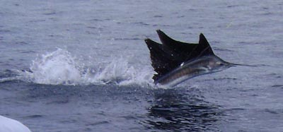 sailfish-costa-rica.jpg