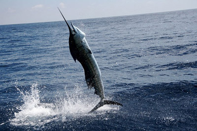 sailfish-jumsmall.jpg
