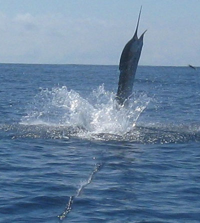 sailfish-tsand.jpg