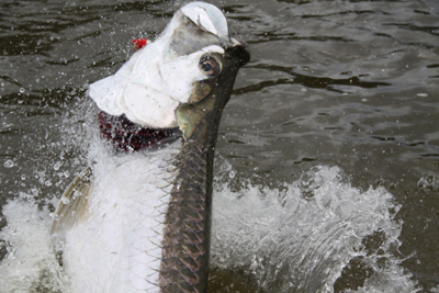 tarpon-matt-small.jpg